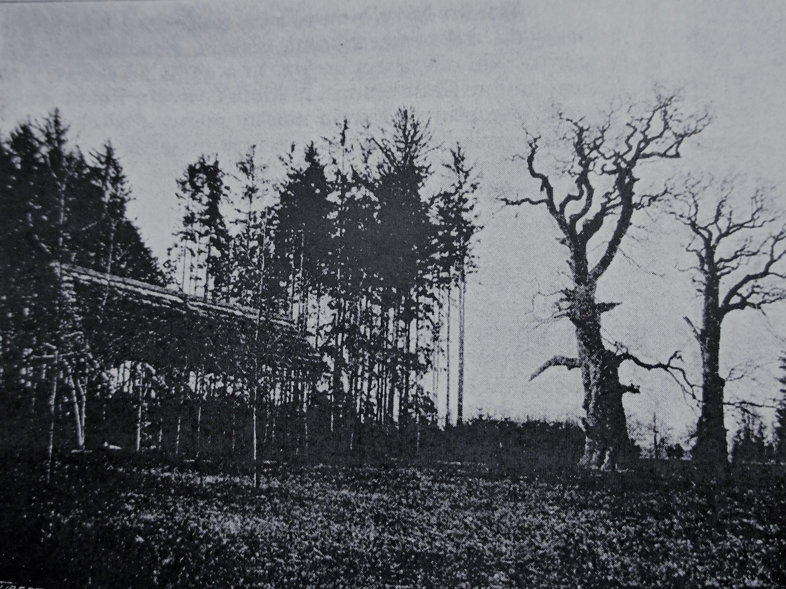 staré duby v Choltické oboře cca rok 1900